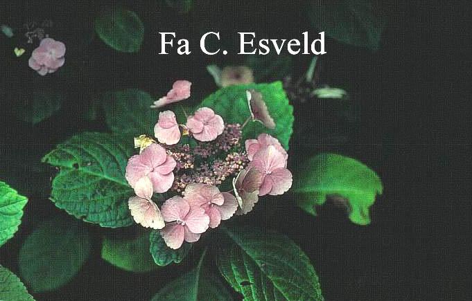 Hydrangea macrophylla 'Mücke'
