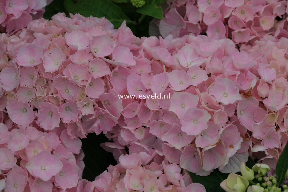 Hydrangea macrophylla 'Pink Wonder' (EVERBLOOM)