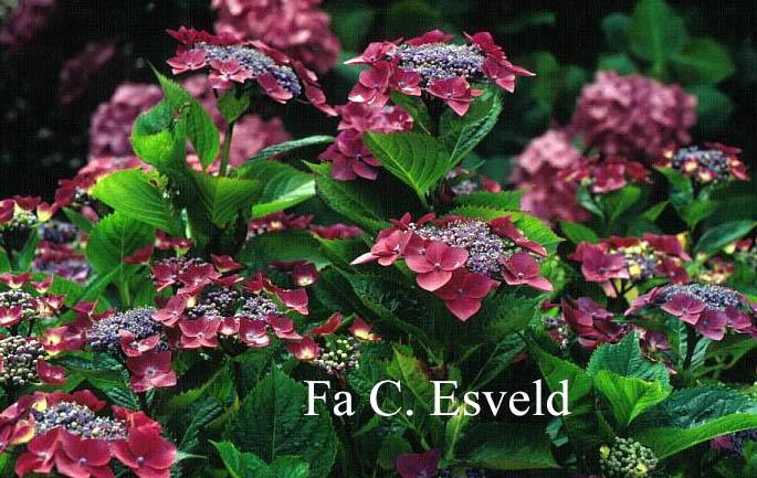 Hydrangea macrophylla 'Rotdrossel'