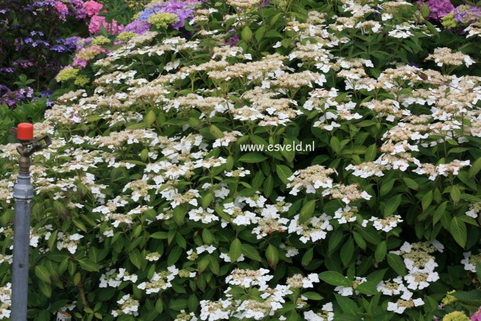 Hydrangea macrophylla 'Shibo gaku'