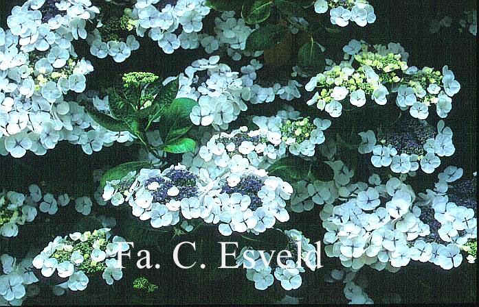 Hydrangea macrophylla 'Snow'