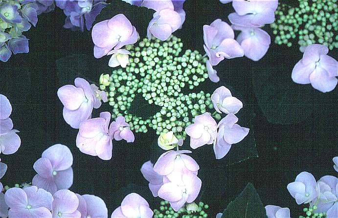 Hydrangea macrophylla 'Soraya'
