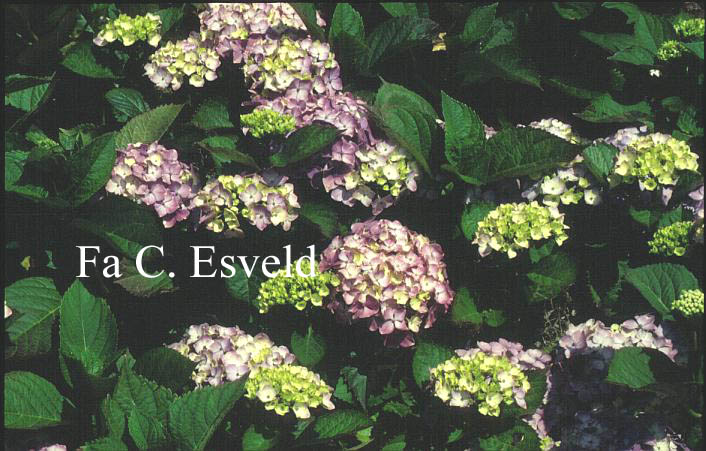 Hydrangea macrophylla 'Souvenir de Mme. E. Chautard'