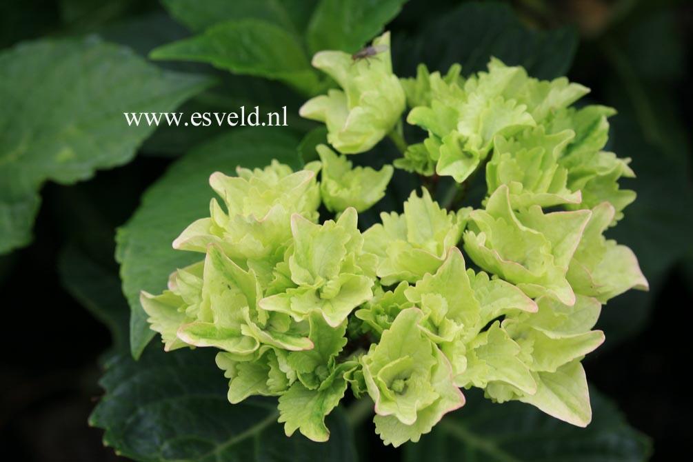 Hydrangea macrophylla 'Sturdy Hami'