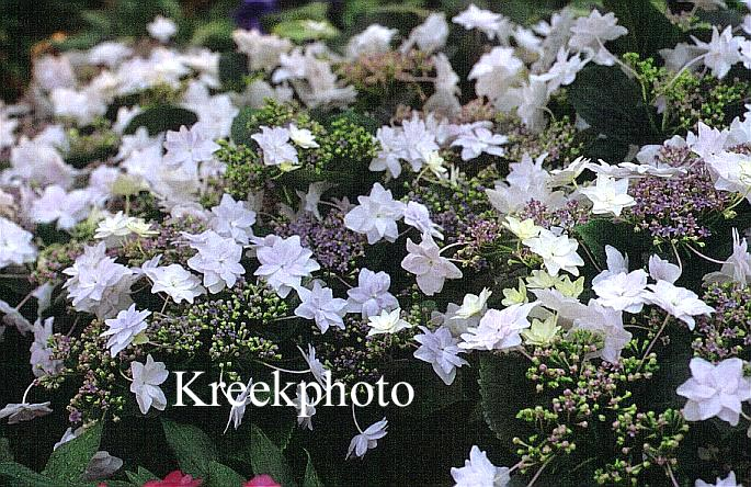 Hydrangea macrophylla 'Sumida-no-hanabi'