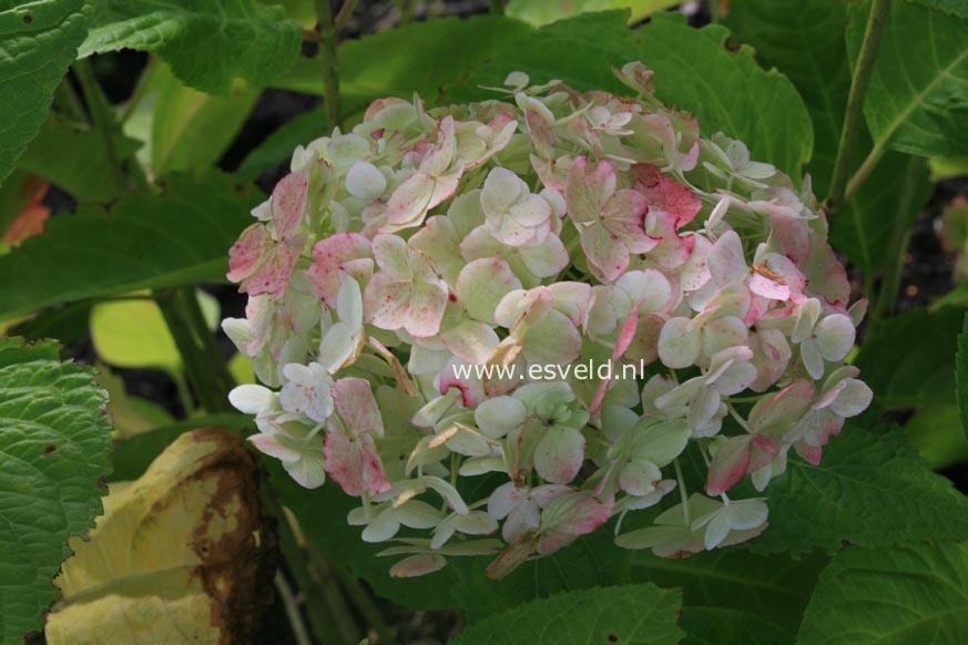 Hydrangea macrophylla 'The Bride' (ENDLESS SUMMER)