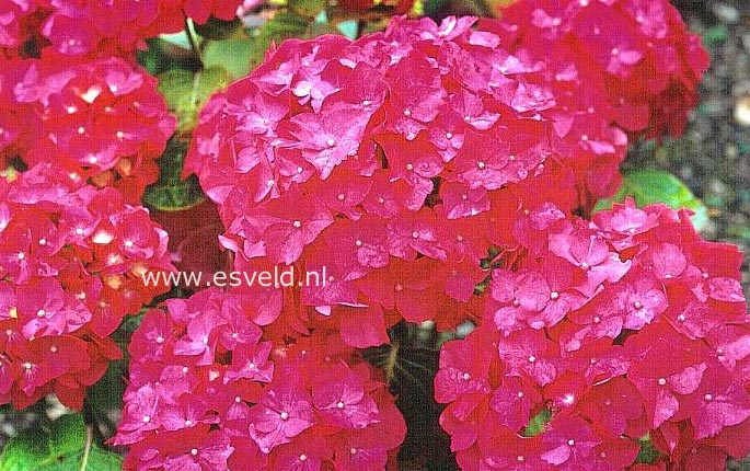 Hydrangea macrophylla 'Tödi'