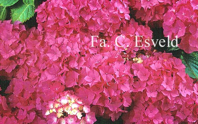 Hydrangea macrophylla 'Triumphant'