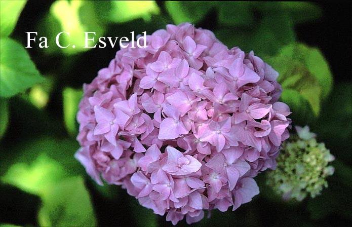 Hydrangea macrophylla 'Vindool' (DOOLEY)