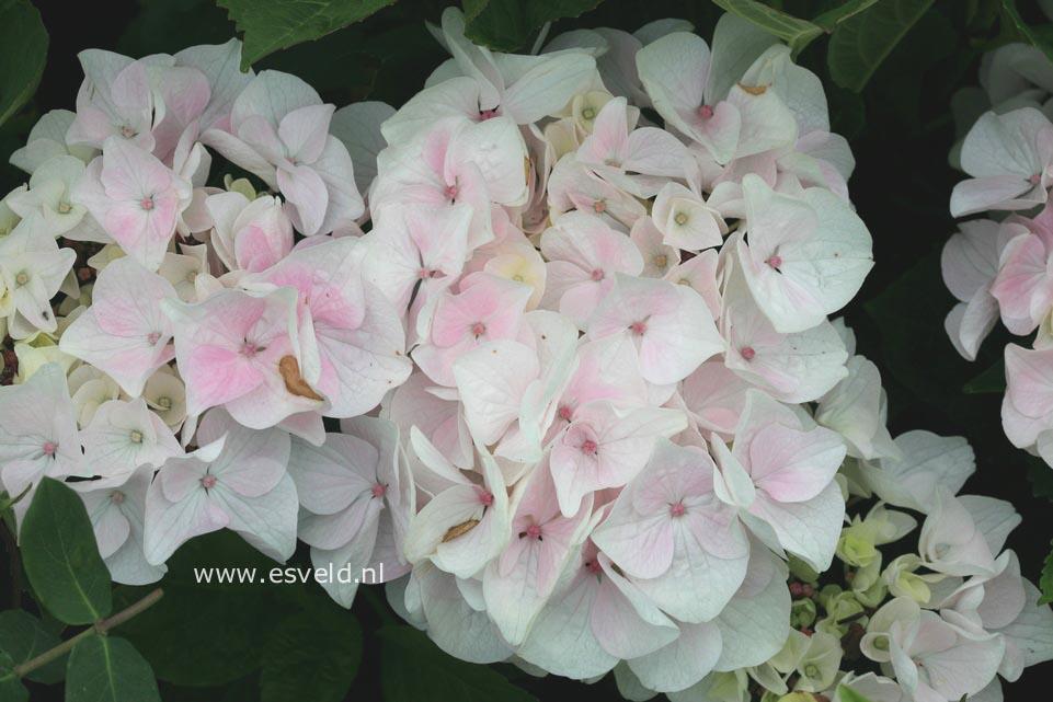 Hydrangea macrophylla 'White Spirit'