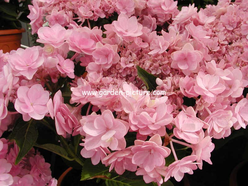 Hydrangea macrophylla 'Youmefour' (PASSION)