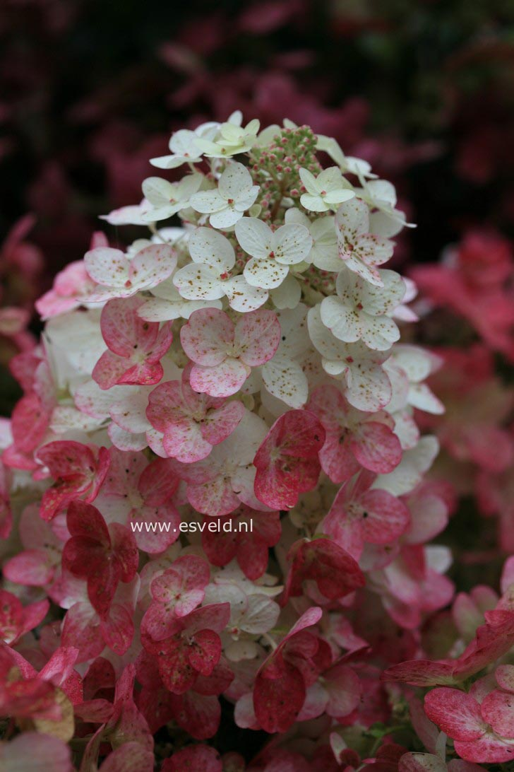 Hydrangea paniculata 'Bokratorch' (MAGICAL FLAME)