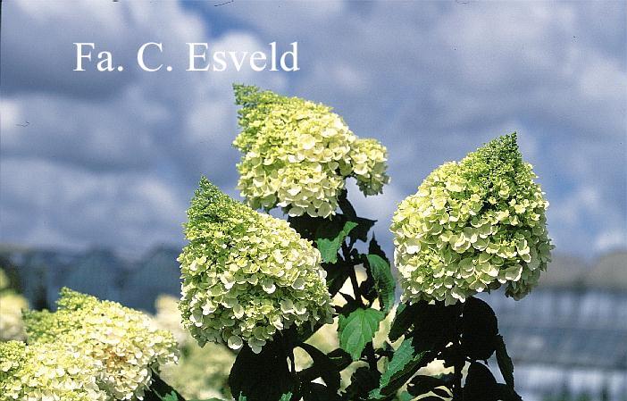 Hydrangea paniculata 'Kolmagino' (MAGICAL MOONLIGHT)