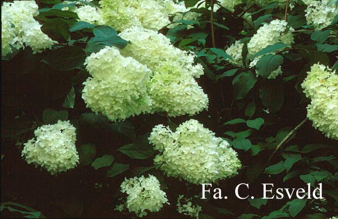 Hydrangea paniculata 'Lammetje'
