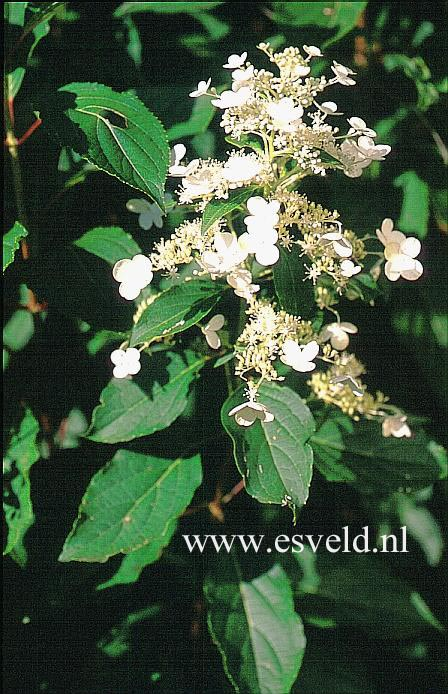 Hydrangea paniculata 'October Bride'