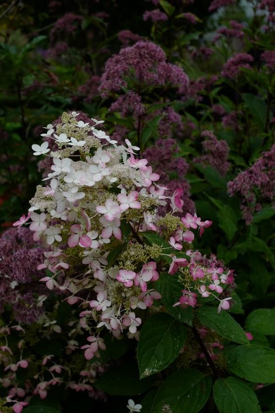 Hydrangea paniculata 'Ruby' (ANGELS BLUSH)