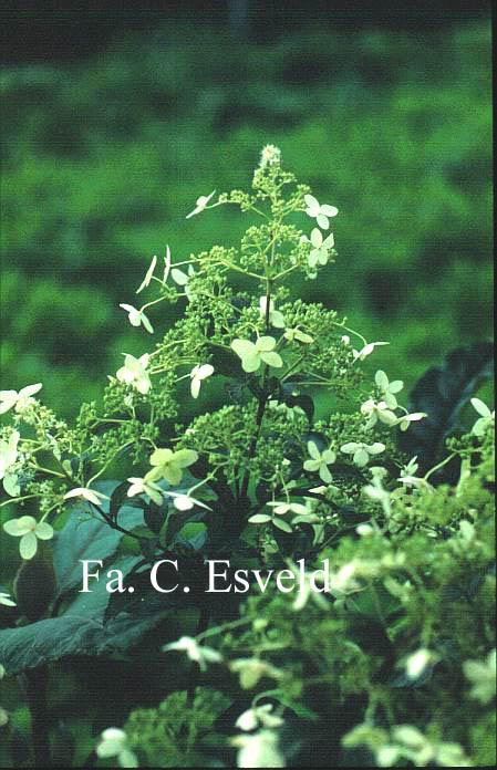 Hydrangea paniculata 'Taiwan Form'