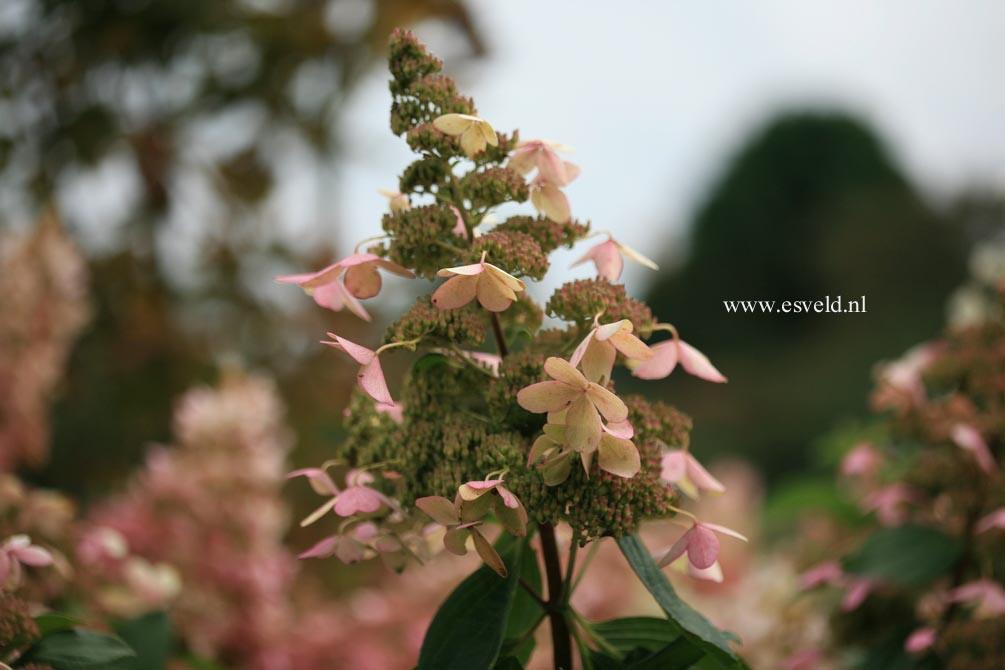 Hydrangea paniculata 'White Goliath'