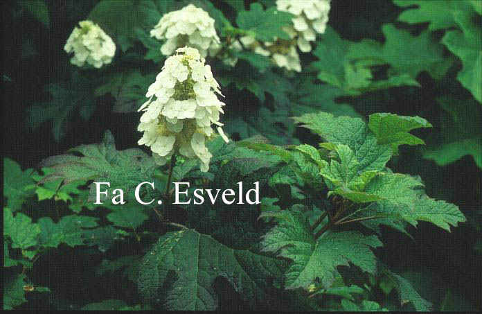 Hydrangea quercifolia 'Applause'