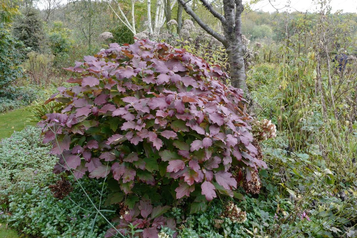 Hydrangea quercifolia 'Brido' (SNOWFLAKE)
