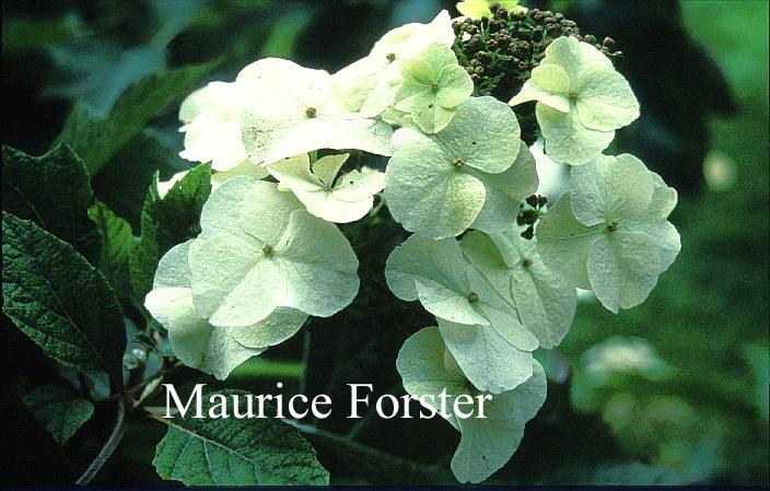 Hydrangea quercifolia 'Joe MacDaniel'