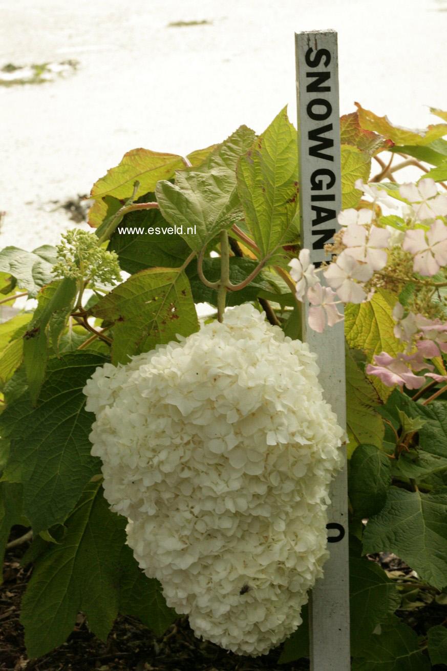 Hydrangea quercifolia 'Snow Giant'