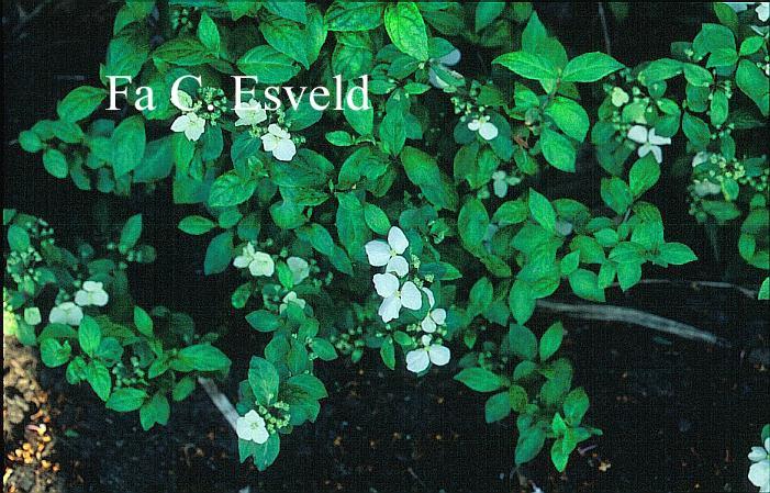 Hydrangea scandens liukiuensis