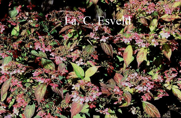 Hydrangea serrata 'Akabe-yama'