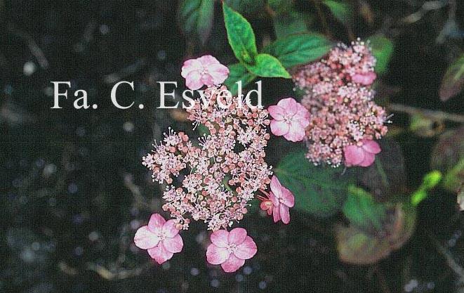 Hydrangea serrata 'Autumn Fire'
