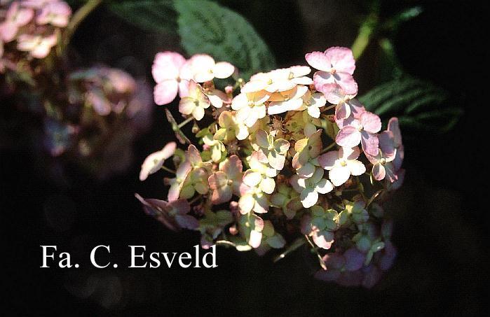 Hydrangea serrata 'Betu-ko-temari'