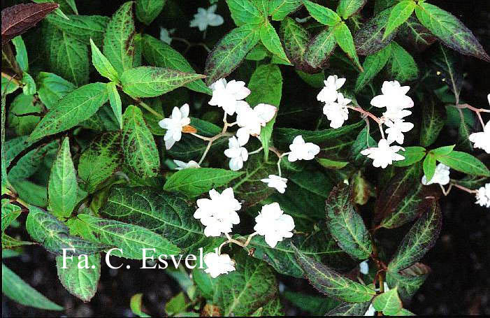 Hydrangea serrata 'Hakucho'