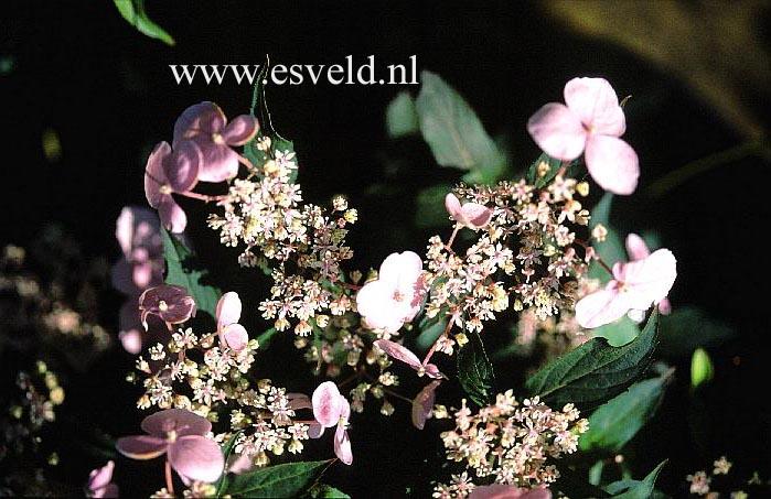 Hydrangea serrata 'Seto-no-tsuki'