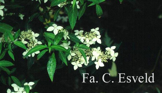 Hydrangea serrata var. angustata