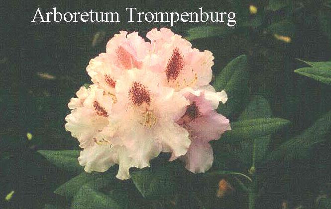 Rhododendron 'Lamentosa'