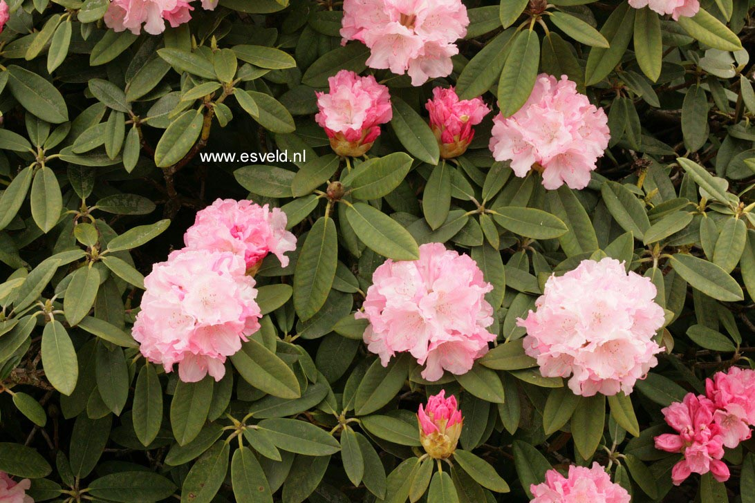 Rhododendron 'Marion Street'