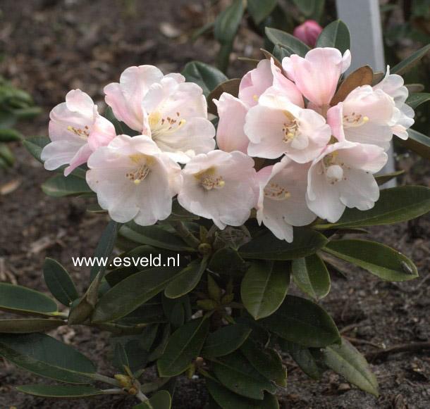 Rhododendron 'Palle Christensen'