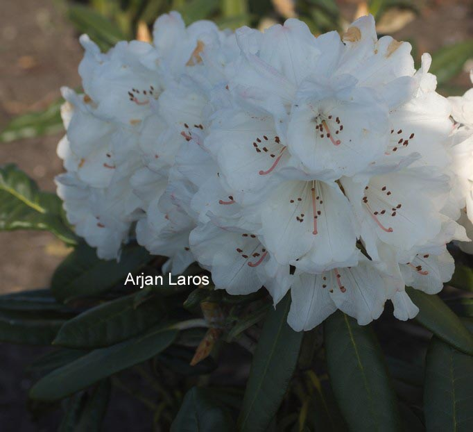 Rhododendron 'Queenswood Centenary'