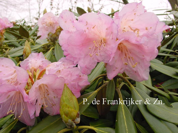 Rhododendron degronianum kyomaruense