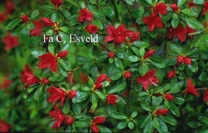 Rhododendron 'Rashomon' (Azalea)