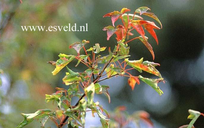 Acer buergerianum 'Tanchoh'