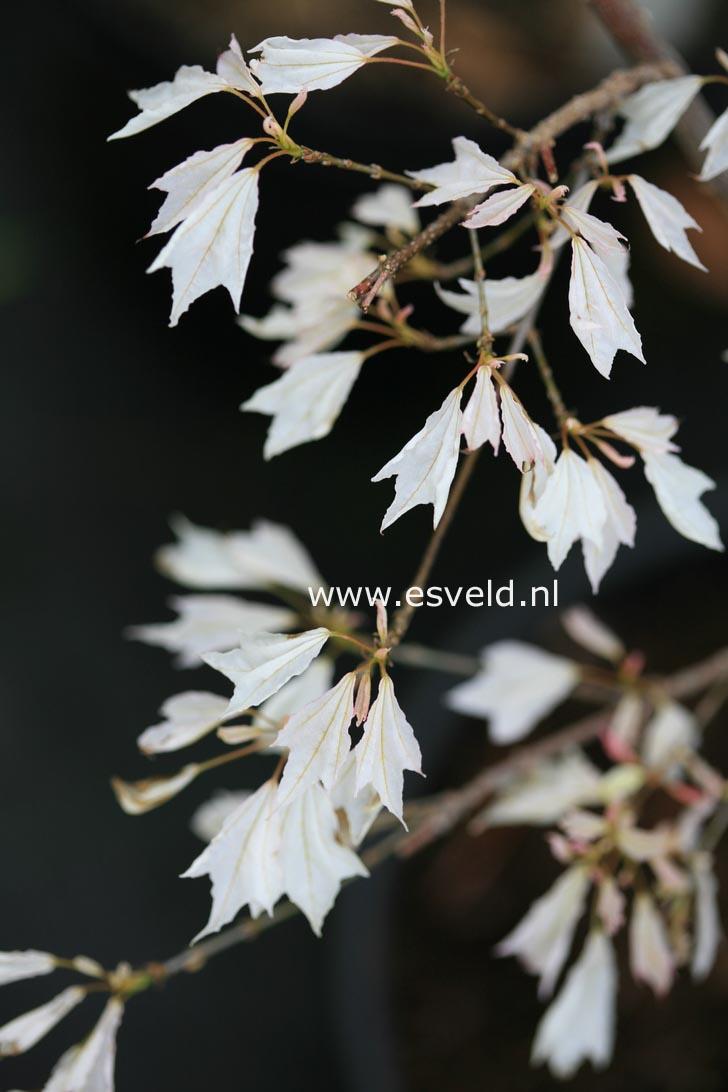 Acer buergerianum 'Wakoh nishiki'