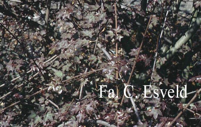 Acer cappadocicum ssp. divergens