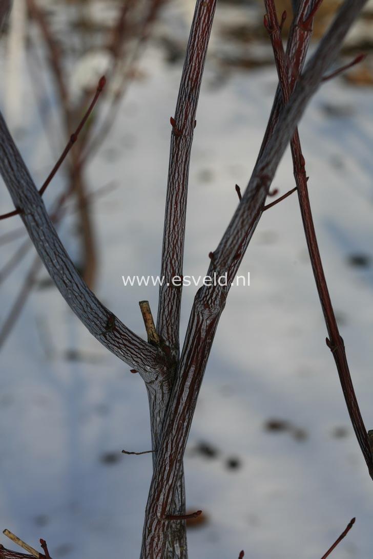 Acer davidii 'Hagelunie'