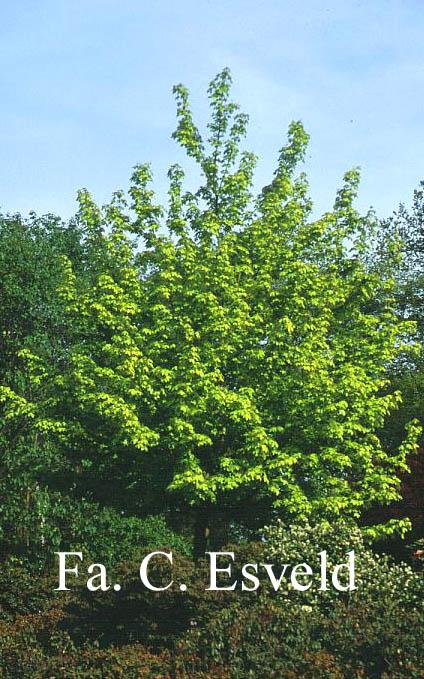 Acer hillieri 'Summergold'