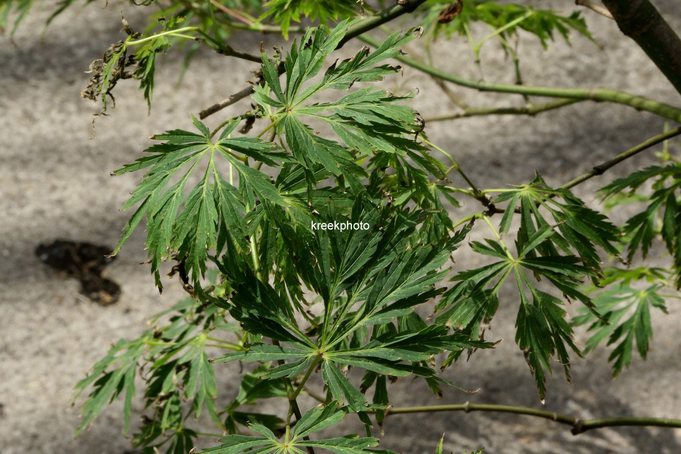 Acer japonicum 'Kujaku-bato'