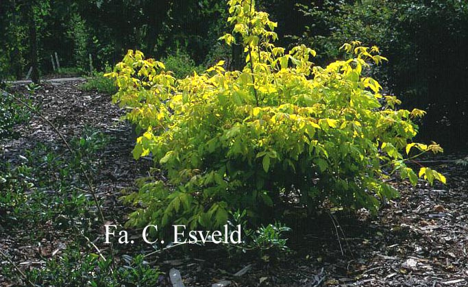 Acer negundo 'Auratum'