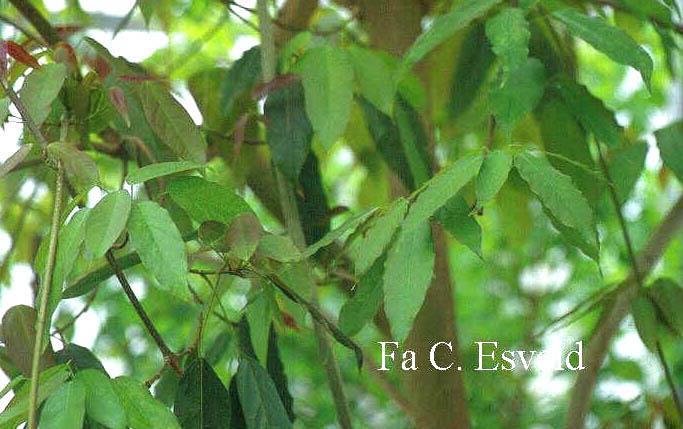 Acer oblongum