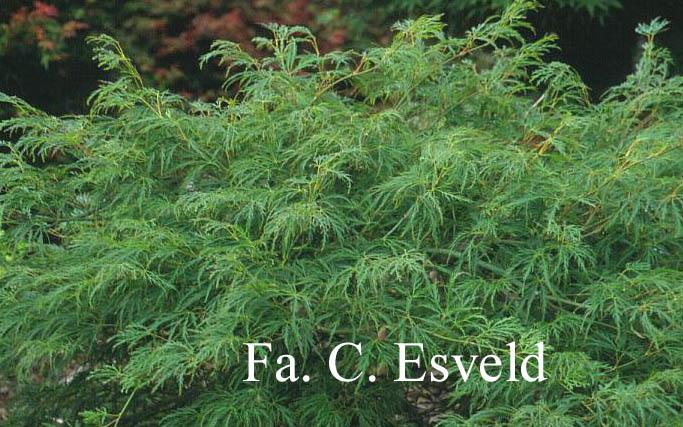 Acer palmatum 'Ao-shidare'
