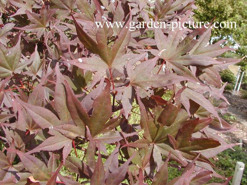 Acer palmatum 'Ariake-nomura'