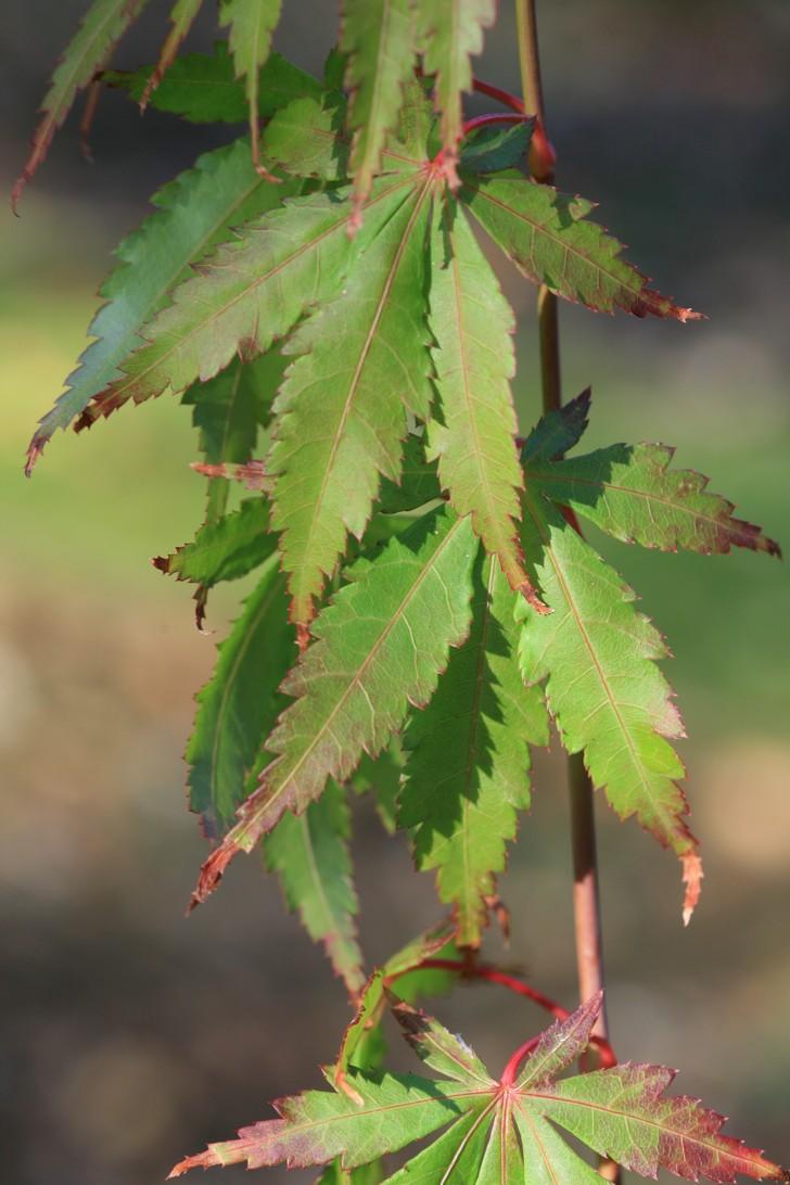 Acer palmatum 'Autumn Showers'